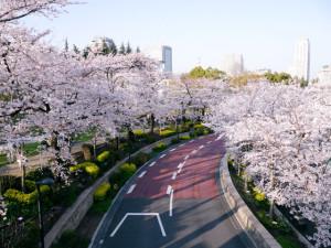 2015033007_sakura