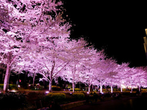 2015033103_sakura