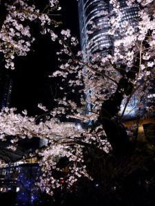 2015033107_sakura
