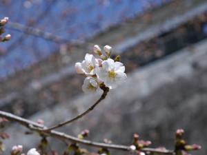 2015041412_kumamotojou_sakura